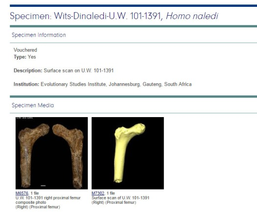 Image from Morphosource website with 3D data on Homo naledi's proximal femur.