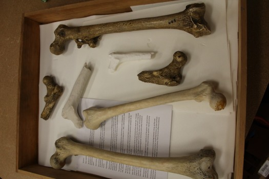 Image of modern human and fossil hominin femurs