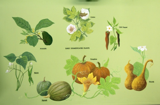 Image from Scotty MacNeish's 1970s era exhibit showing early plant domesticates likes cotton, gourds, chili peppers, avocado, beans, and squash.