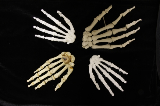 Image with comparison of four hands: from upper left, clockwise: 3D resin print of Homo naledi; plastic anatomical model, modern human; 3D filament print, Homo naledi; real bone anatomical model, modern human.