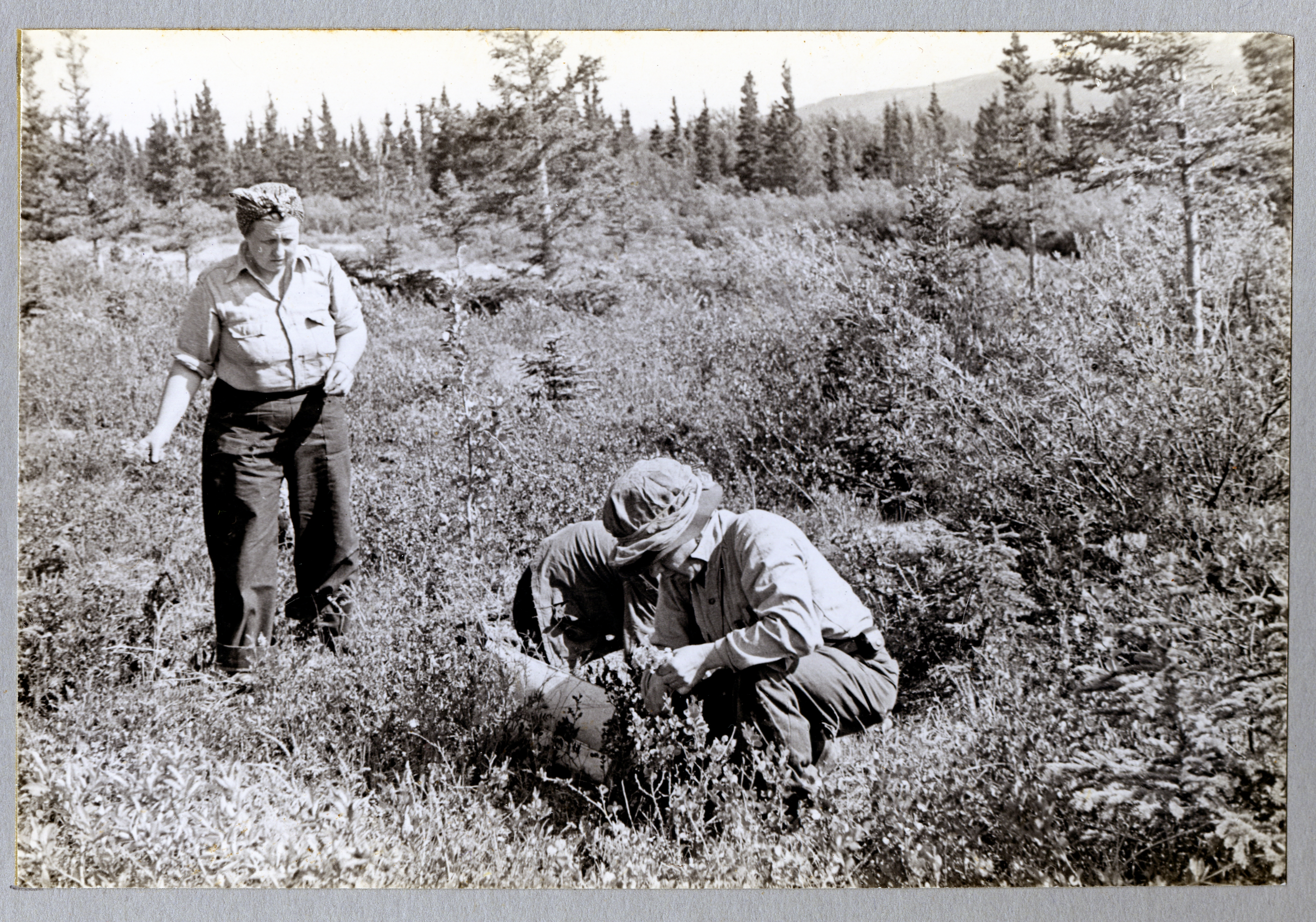 L-25-5. Collecting Primulas on muskeg between beaches west of Mile 1020-21. Near Pine Creek Camp. Alaska Highway. 6/23/44.