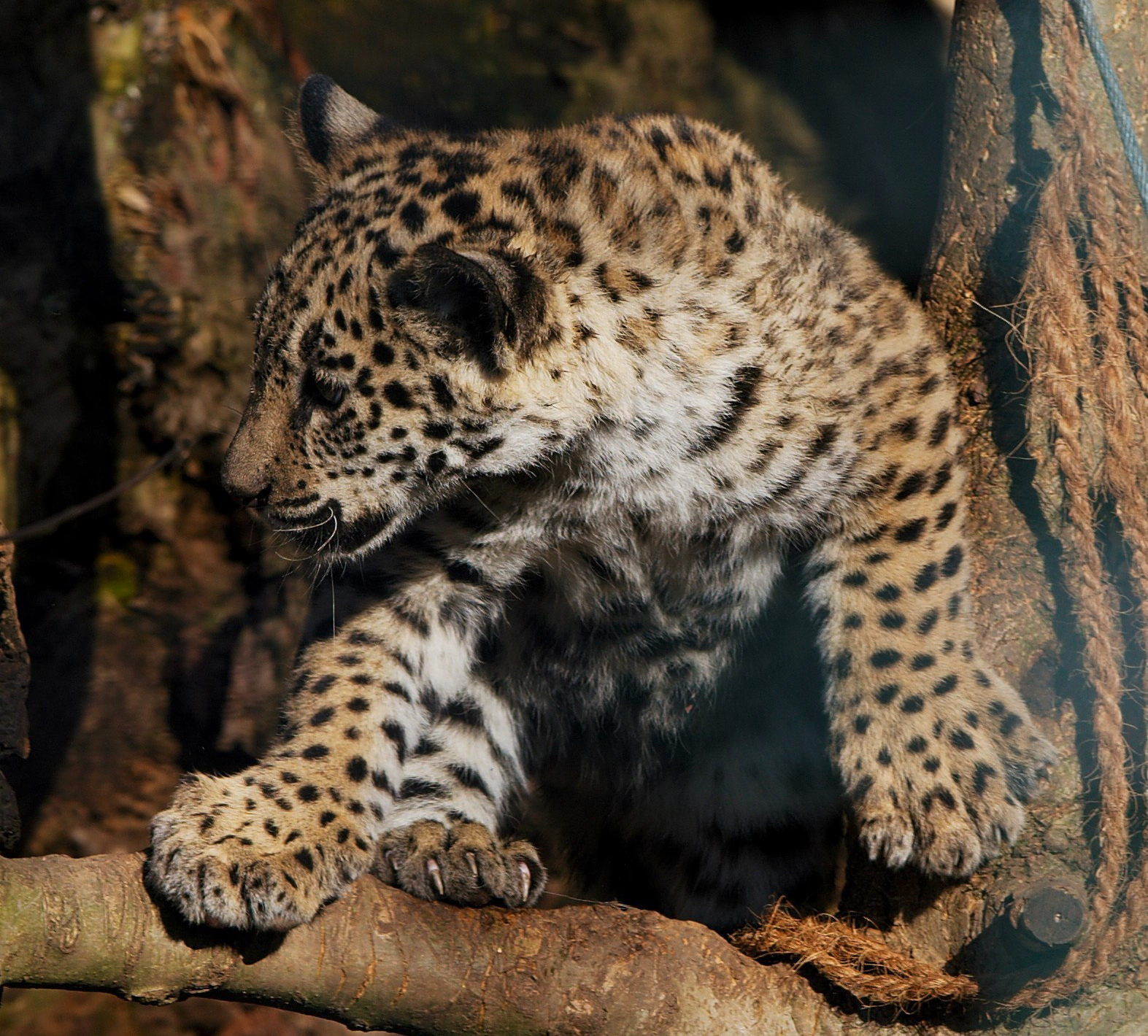 Panthera_onca_zoo_Salzburg_2009_09