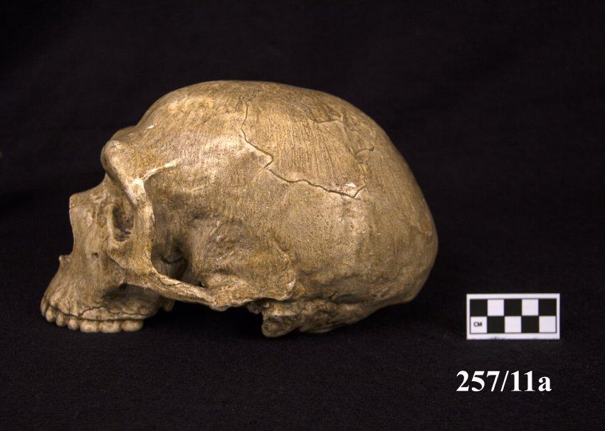 Image of Neanderthal skull cast.