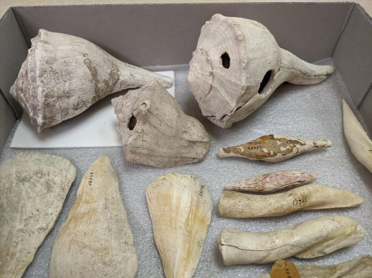 White to yellow colored artifacts carved from seashells, including adze or celt shaped tools, plummets, whole gastropod shell tools, and other artifacts carved from the central spire of whelk shells.